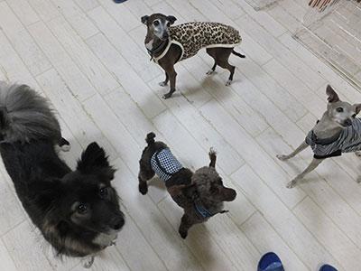たくさんの犬と遊ぶイタグレ