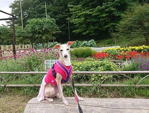 イタグレ ピンクの服