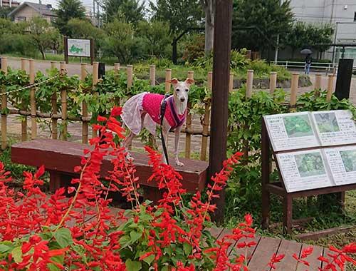 イタグレと秋の花
