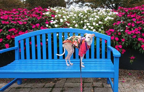 青い公園ベンチと花とイタグレ