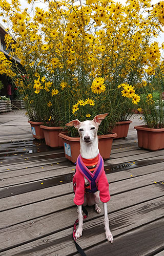 黄色いコスモスとイタグレトレーナー
