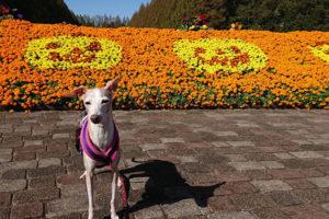 ハロウイン花壇とイタグレ