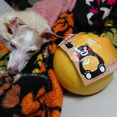 くまもん晩白柚とイタグレ
