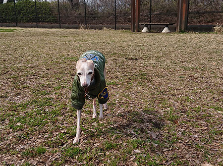 市販の犬服で少し走るイタグレ