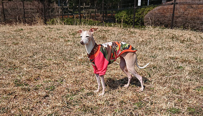 イタグレの春の服 トレーナー