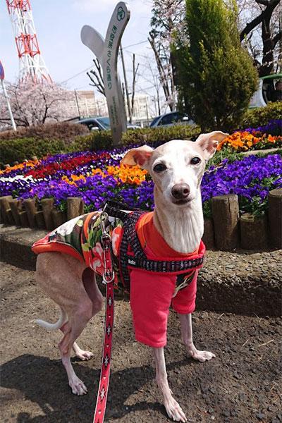 春のイタグレ服 綿トレーナー 花柄でお花見に