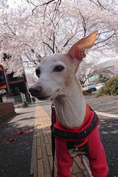 イタグレと桜並木