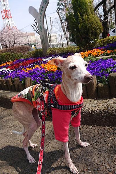 イタグレと春の花壇
