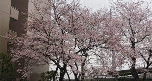 公園の桜7分咲き