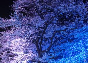 よみうりランドの夜桜 ライトアップ