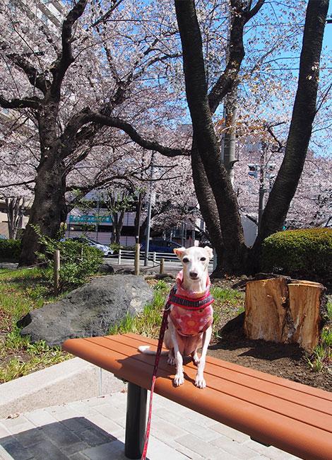 桜とベンチとイタグレ