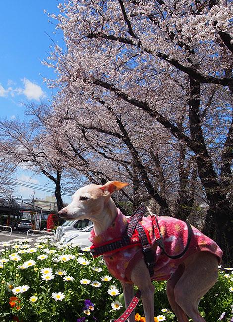 桜と花壇とイタグレ