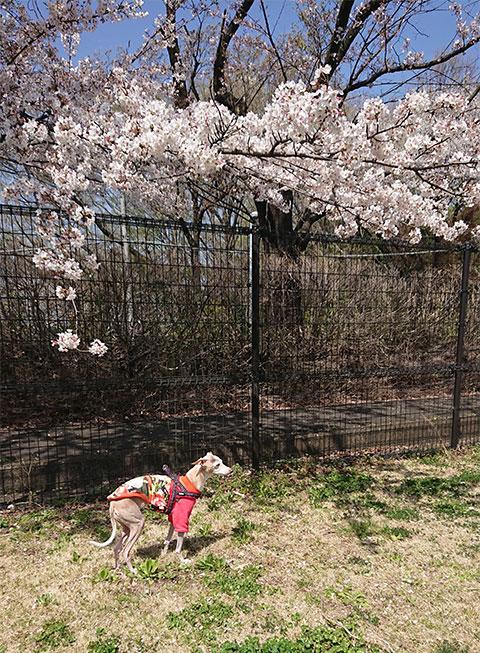 イタグレと桜