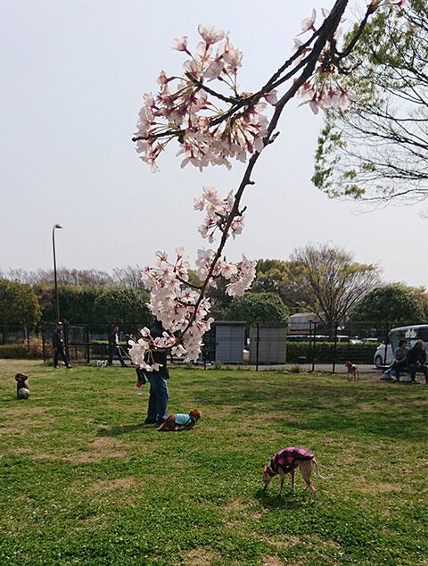 ドッグランの桜満開