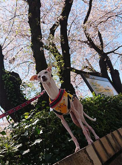 桜餅色の桜とイタグレ