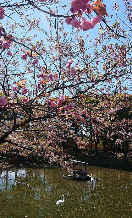 花筏と八重桜と白鳥