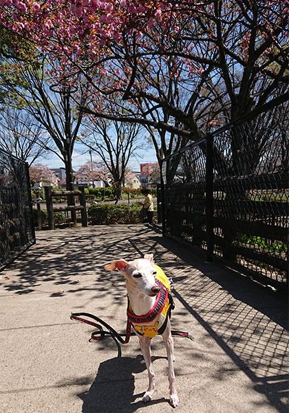 八重桜とイタグレamica