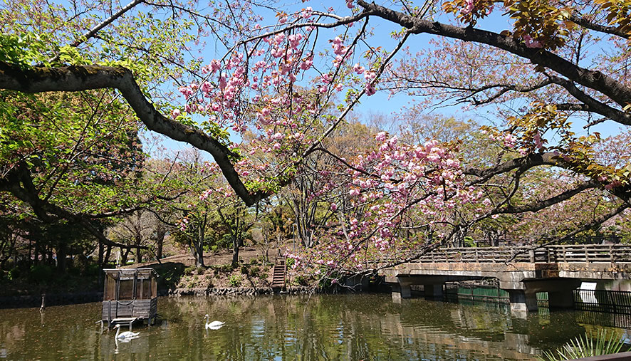 花筏と八重桜 公園でイタグレ散歩
