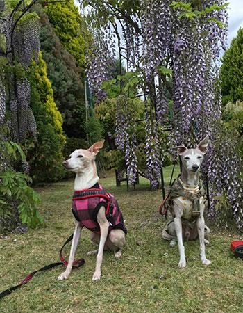 藤の花とイタグレ
