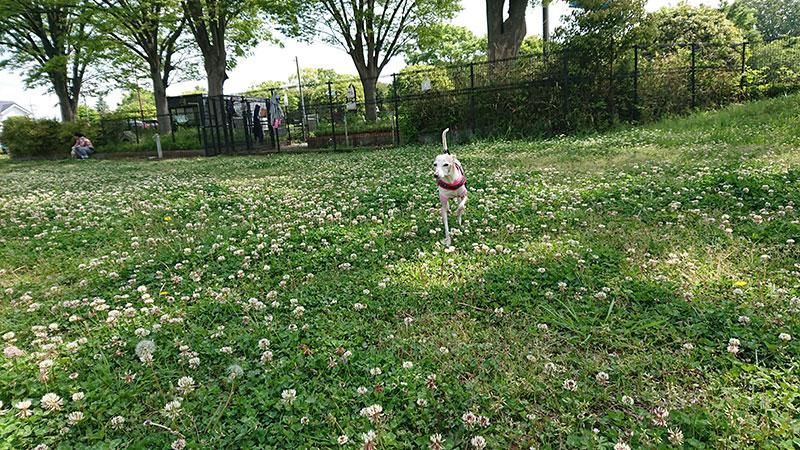 シロツメ草とイタグレ