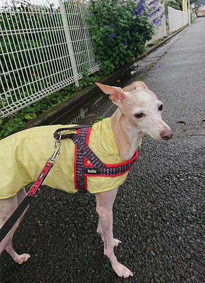 雨の日散歩、レインコートで快適に!