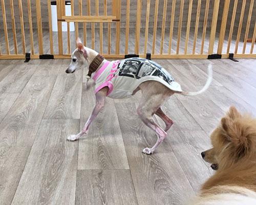 犬の保育園で遊ぶイタグレamica