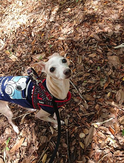 カサカサの枯葉 犬の散歩コース