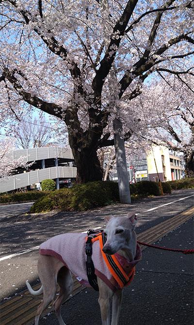 桜並木とイタグレ