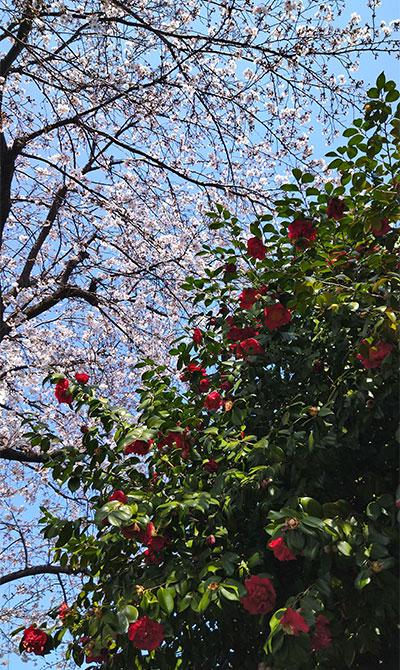 桜と椿 ピンクと赤