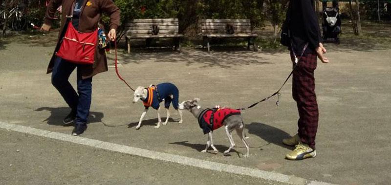 桜の公園でイタグレお散歩デート