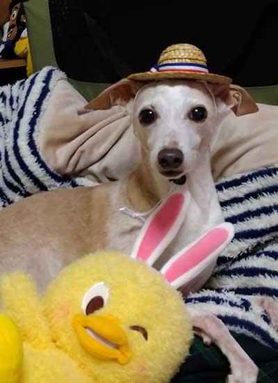 犬用麦わら帽子!イタグレのルフィ
