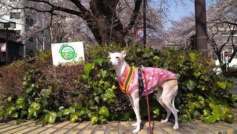 桜の季節のイタグレ服 ノースリーブトレーナー