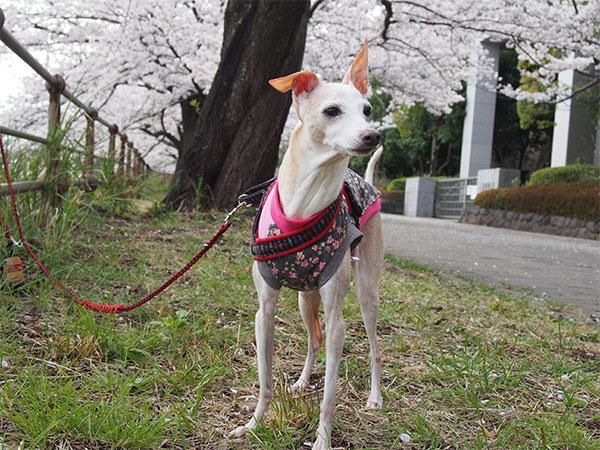 イタグレ 桜満開