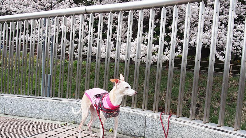 桜満開 イタグレと散歩