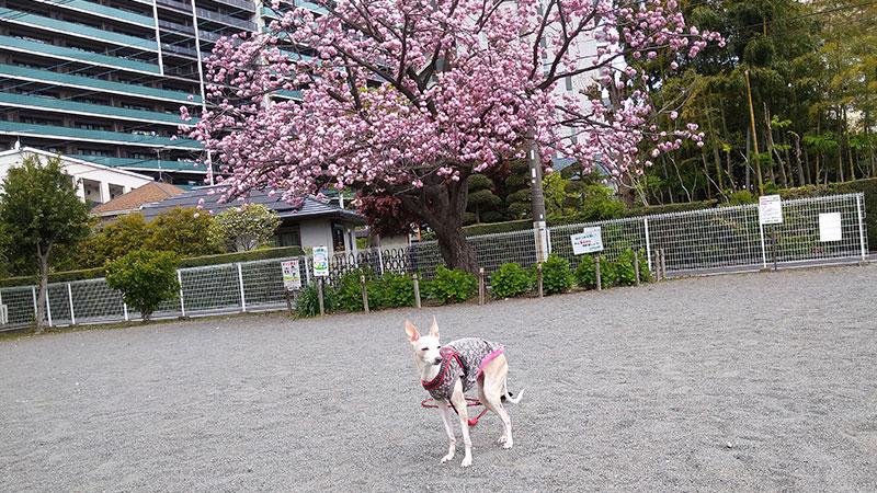 八重桜とピンクのイタグレ服