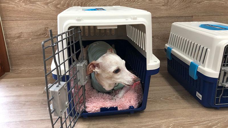 犬の保育園 クレートで休む イタグレ