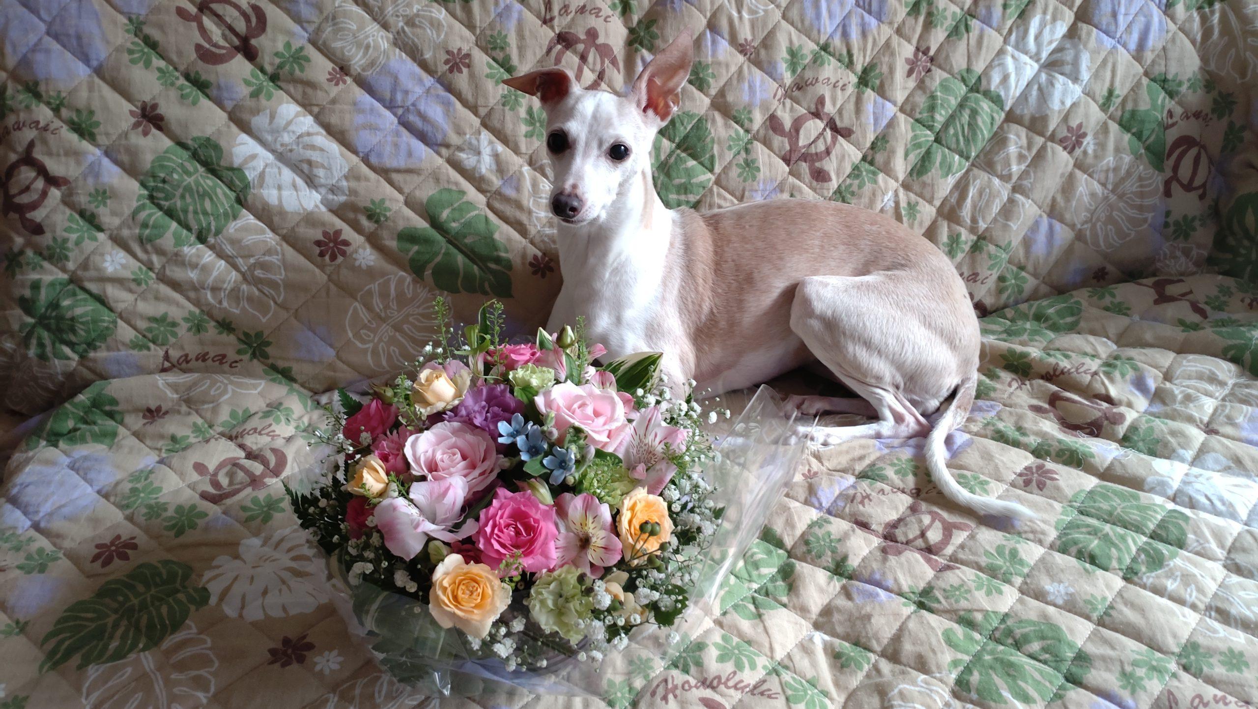 頂いたお花とイタグレamica