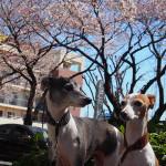 桜とイタグレ