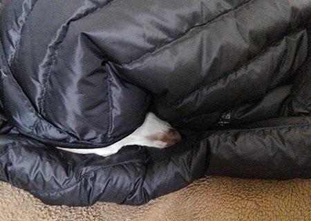 ダウンに包まって寝るイタグレ