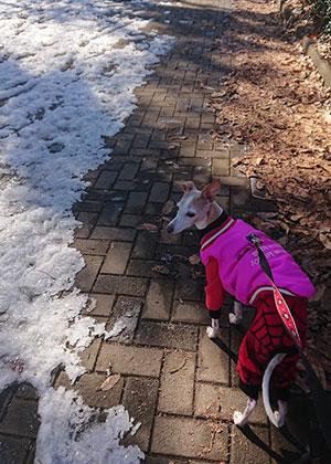 公園の雪とイタグレ
