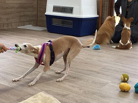 犬友達と遊ぶイタグレ