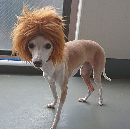 イタグレがライオンに